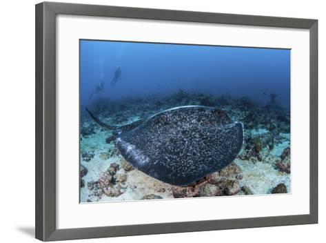 A Large Black-Blotched Stingray Swims over the Rocky Seafloor-Stocktrek Images-Framed Art Print