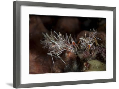 A Pair of Spiny Tiger Shrimp Crawl on the Seafloor-Stocktrek Images-Framed Art Print