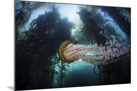 A Large Lion's Mane Jellyfish Swims in a Kelp Forest-Stocktrek Images-Mounted Photographic Print