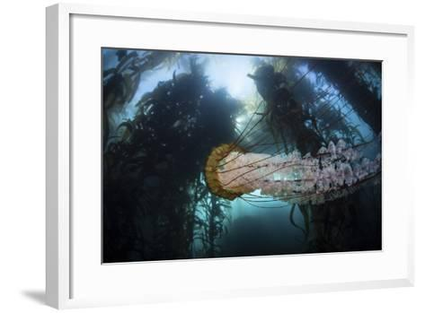 A Large Lion's Mane Jellyfish Swims in a Kelp Forest-Stocktrek Images-Framed Art Print