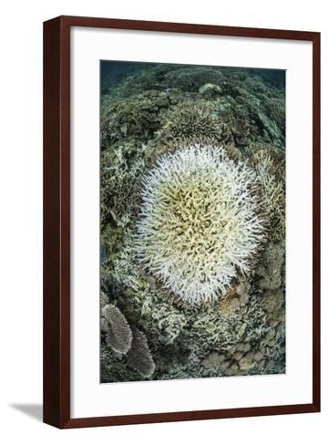 Coral Colonies are Beginning to Bleach on a Reef in Indonesia-Stocktrek Images-Framed Art Print