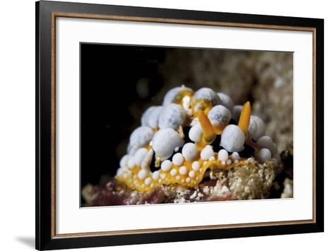 A Bright Orange and White Phyllidia Varicosa Nudibranch-Stocktrek Images-Framed Art Print