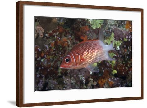 Tailspot Squirrelfish Swimming in Fiji-Stocktrek Images-Framed Art Print