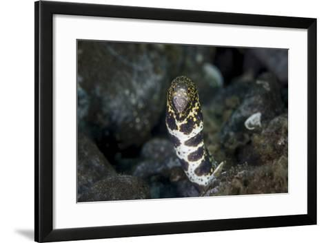 A Snowflake Moray Eel Pokes its Head Out of a Hole-Stocktrek Images-Framed Art Print