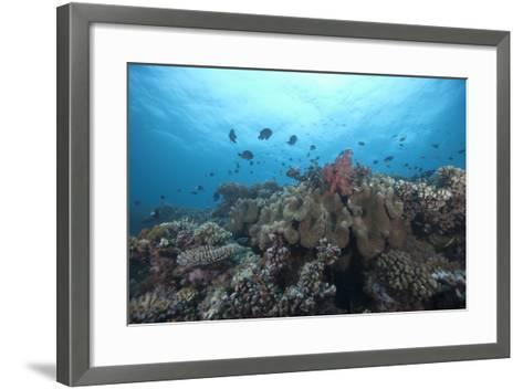 Schooling Anthias Fish and Healthy Corals of Beqa Lagoon, Fiji-Stocktrek Images-Framed Art Print