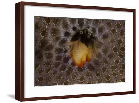 Small Hermit Crab Living in an Abandoned Coral Polyp Hole, Fiji-Stocktrek Images-Framed Art Print