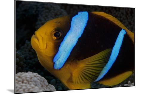 Orange-Fin Anenomefish in its Host Anenome, Fiji-Stocktrek Images-Mounted Photographic Print