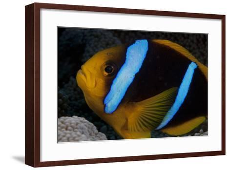 Orange-Fin Anenomefish in its Host Anenome, Fiji-Stocktrek Images-Framed Art Print