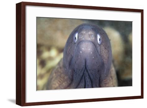 A White-Eyed Moray Eel-Stocktrek Images-Framed Art Print