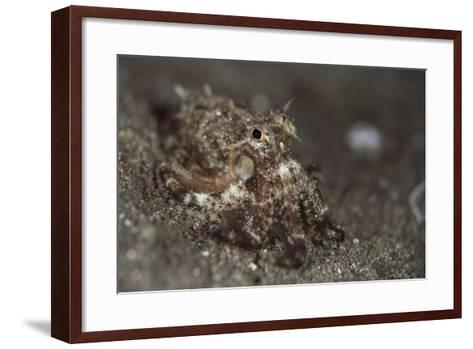 A Young Day Octopus on Black Volcanic Sand-Stocktrek Images-Framed Art Print