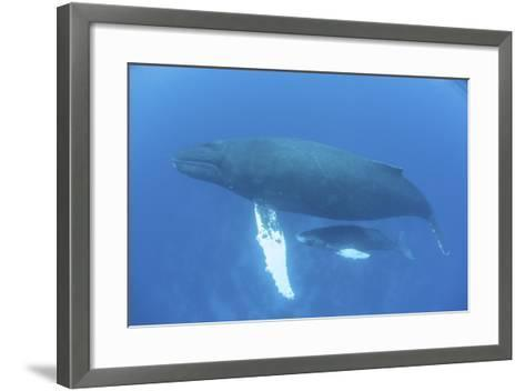 A Humpback Whale Mother and Calf in the Caribbean Sea-Stocktrek Images-Framed Art Print