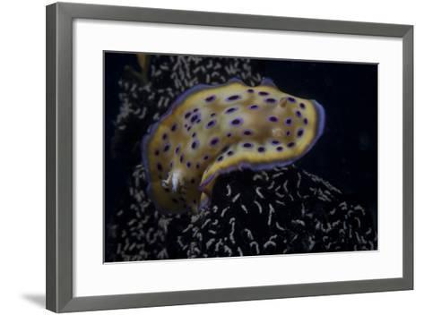 Chromodoris Kuniei Nudibranch, Beqa Lagoon, Fiji-Stocktrek Images-Framed Art Print