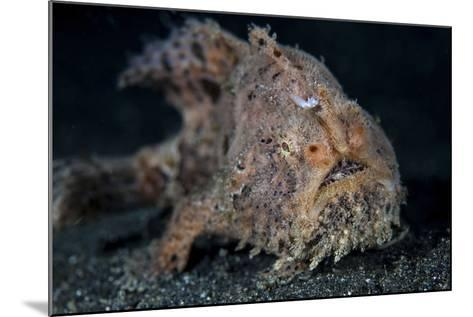A Hairy Frogfish in Lembeh Strait, Indonesia-Stocktrek Images-Mounted Photographic Print