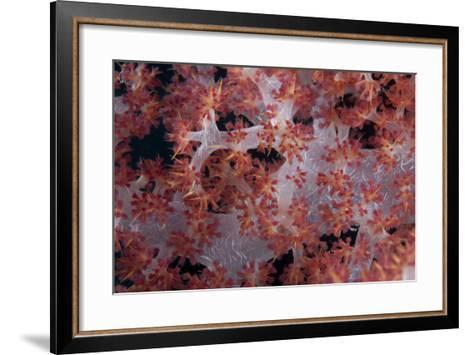 Red Tree Coral on a Fijian Reef-Stocktrek Images-Framed Art Print