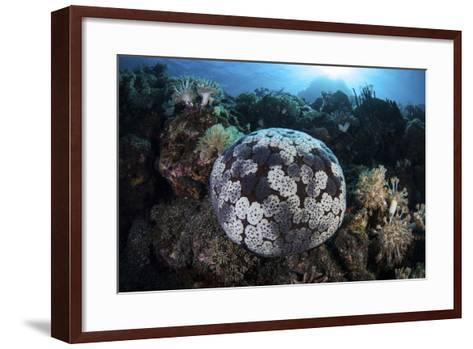 A Pin Cushion Starfish Clings to a Coral Reef-Stocktrek Images-Framed Art Print