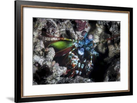 A Peacock Mantis Shrimp in Lembeh Strait, Indonesia-Stocktrek Images-Framed Art Print
