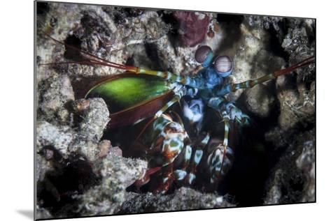 A Peacock Mantis Shrimp in Lembeh Strait, Indonesia-Stocktrek Images-Mounted Photographic Print
