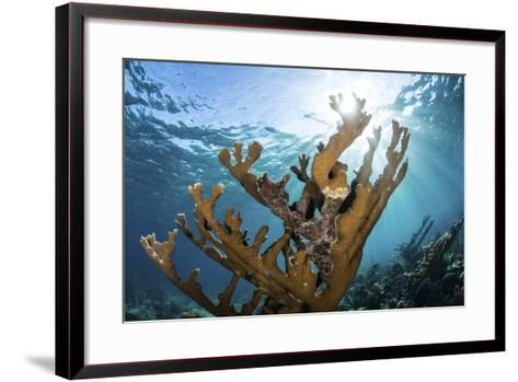 Elkhorn Coral Grows on a Healthy Reef in the Caribbean Sea-Stocktrek Images-Framed Art Print