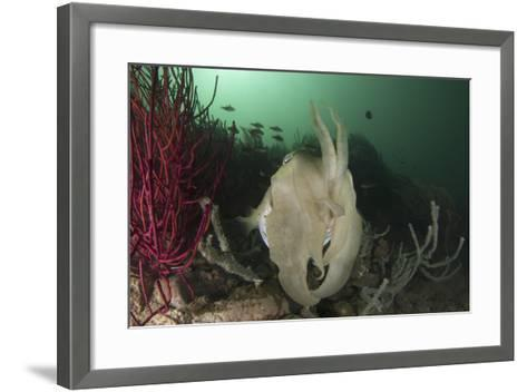 Full Body View of a Broadclub Cuttlefish Amongst a Reef-Stocktrek Images-Framed Art Print