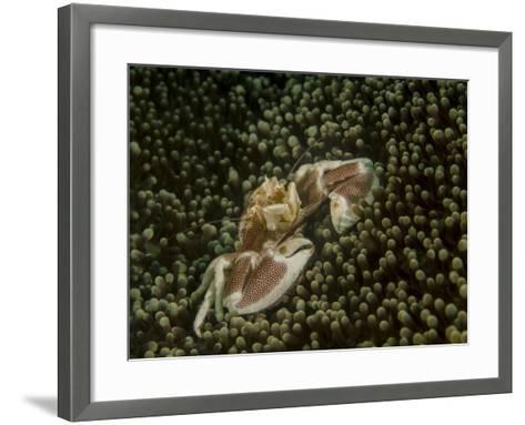Porcelain Crab in Anemone, Lembeh Strait, Indonesia-Stocktrek Images-Framed Art Print