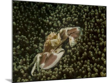 Porcelain Crab in Anemone, Lembeh Strait, Indonesia-Stocktrek Images-Mounted Photographic Print