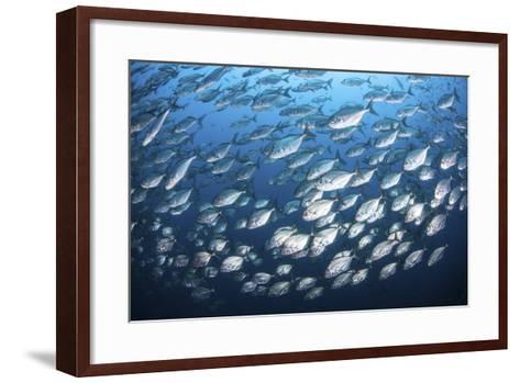 Schooling Fish Near Cocos Island, Costa Rica-Stocktrek Images-Framed Art Print