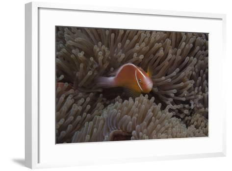 Pink Anemonefish in its Host Anenome, Fiji-Stocktrek Images-Framed Art Print