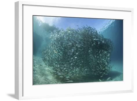 A Large School of Scad in the Solomon Islands-Stocktrek Images-Framed Art Print