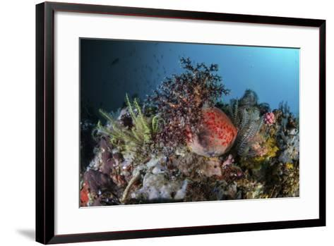 A Colorful Sea Apple Clings to a Reef in Indonesia-Stocktrek Images-Framed Art Print