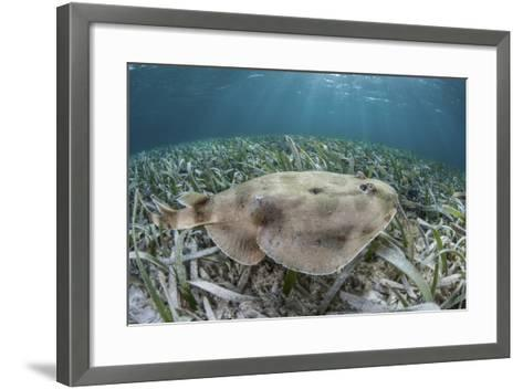 An Electric Ray on the Seafloor of Turneffe Atoll Off the Coast of Belize-Stocktrek Images-Framed Art Print