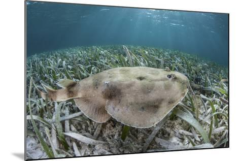 An Electric Ray on the Seafloor of Turneffe Atoll Off the Coast of Belize-Stocktrek Images-Mounted Photographic Print