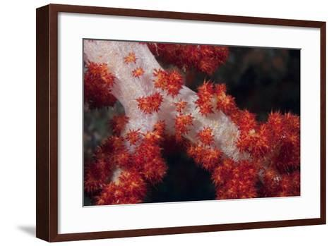 Red Tree Coral on a Fijian Reef-Stocktrek Images-Framed Art Print