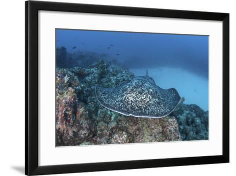 A Large Black-Blotched Stingray Near Cocos Island, Costa Rica-Stocktrek Images-Framed Art Print