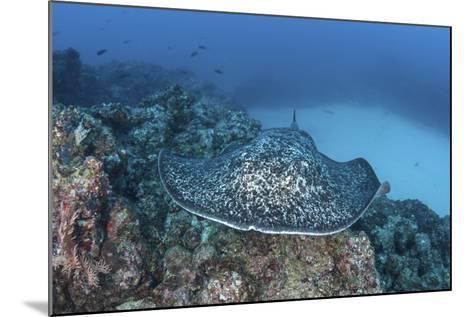 A Large Black-Blotched Stingray Near Cocos Island, Costa Rica-Stocktrek Images-Mounted Photographic Print