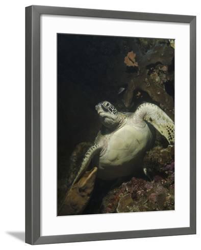 Green Turtle, Bunaken Marine Park, Indonesia-Stocktrek Images-Framed Art Print