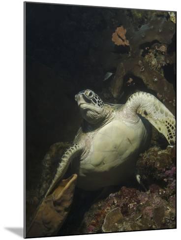 Green Turtle, Bunaken Marine Park, Indonesia-Stocktrek Images-Mounted Photographic Print