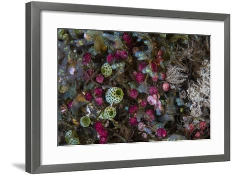 Colorful Tunicates Grow Among Coral Polyps-Stocktrek Images-Framed Art Print
