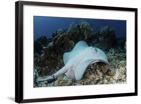 A Roughtail Stingray Swims over the Seafloor Near Turneffe Atoll-Stocktrek Images-Framed Art Print