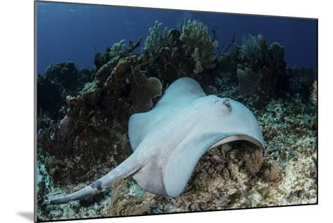 A Roughtail Stingray Swims over the Seafloor Near Turneffe Atoll-Stocktrek Images-Mounted Photographic Print