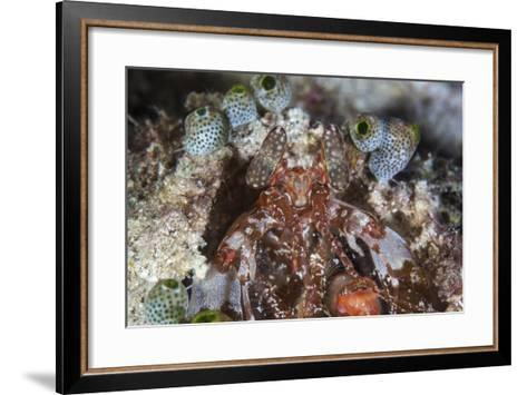 A Mantis Shrimp Peers Out of its Lair on a Reef in Indonesia-Stocktrek Images-Framed Art Print