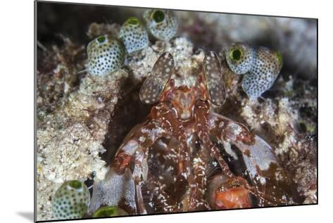 A Mantis Shrimp Peers Out of its Lair on a Reef in Indonesia-Stocktrek Images-Mounted Photographic Print