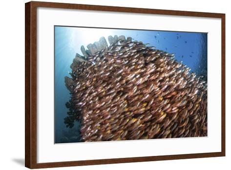 School of Golden Sweepers in Komodo National Park, Indonesia-Stocktrek Images-Framed Art Print