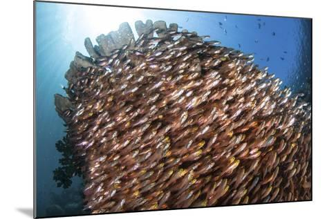 School of Golden Sweepers in Komodo National Park, Indonesia-Stocktrek Images-Mounted Photographic Print