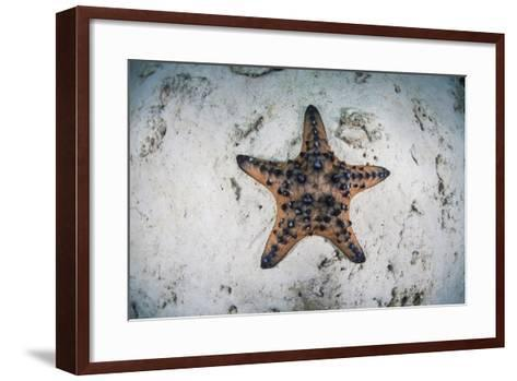 A Colorful Chocolate Chip Sea Star on the Seafloor of Indonesia-Stocktrek Images-Framed Art Print