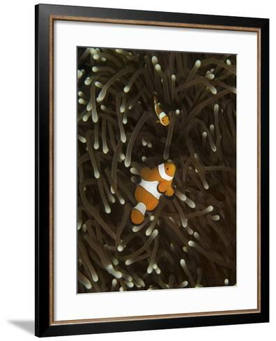 A Pair of Anemonefish in its Host Anemone, Manado, Indonesia-Stocktrek Images-Framed Art Print