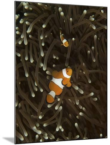 A Pair of Anemonefish in its Host Anemone, Manado, Indonesia-Stocktrek Images-Mounted Photographic Print