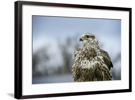 Red Tailed Hawk, an American Raptor, Bird of Prey, United Kingdom, Europe-Janette Hill-Framed Art Print