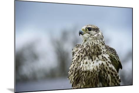 Red Tailed Hawk, an American Raptor, Bird of Prey, United Kingdom, Europe-Janette Hill-Mounted Photographic Print
