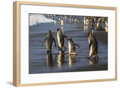 Gentoo Penguin (Pygoscelis Papua), South Georgia, Polar Regions-Michael Nolan-Framed Art Print