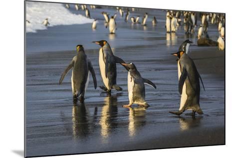 Gentoo Penguin (Pygoscelis Papua), South Georgia, Polar Regions-Michael Nolan-Mounted Photographic Print